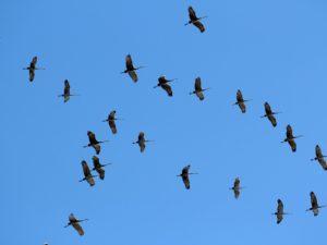 """Dia Mundial das Aves Migratórias: """"Não ao aeroporto no Estuário do Tejo"""""""